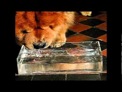 Chow Chow dog and his black tongue ! ( slow motion )