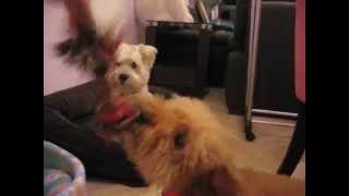 Singapore Dog Hotel - Westie & Poodle Playing - Pass The Ragbone *call 8186 5999*..avi