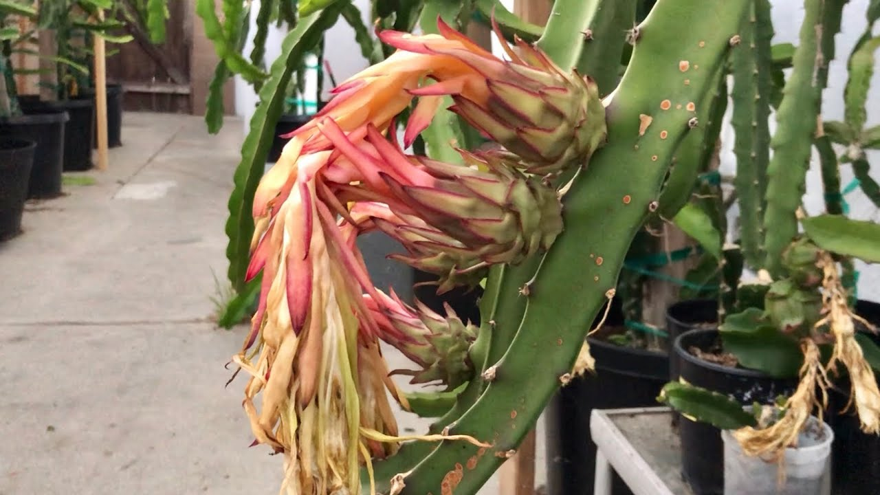 Red Jaina Dragon Fruit Cross Pollination Succesful