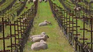 Relax with Sheep at Shafer Vineyards in Napa Valley  6 hours 4K