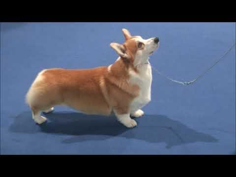 Pembroke Welsh Corgi World dog show Shanghai 2019
