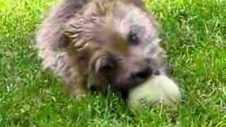 Bobby The Cairn Plays With A Ball