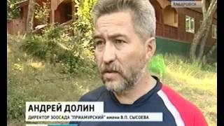 Вести-Хабаровск. Тигр улетел к невесте!