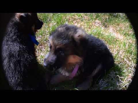 "German Shepherd Puppies ""Tiltonhaus"" Website: http://www.tiltonhaus.com"