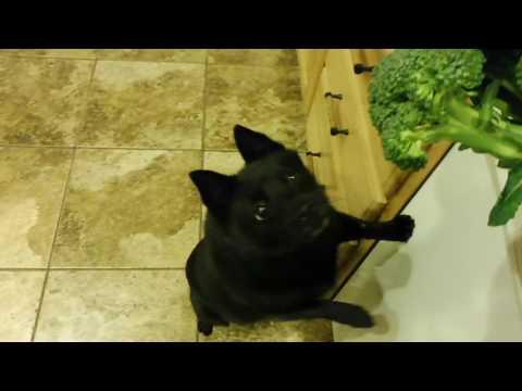 Schipperke dog Max loves broccoli