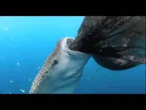 Китовая акула ест рыбу из рыбацких сетей