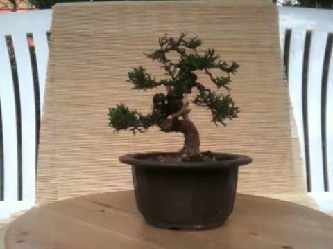 juniperus chinensis gestaltungstagebuch jahr 1 shohin bonsai als youtube. Black Bedroom Furniture Sets. Home Design Ideas