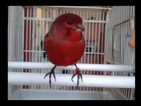 Download Lagu Burung Kenari Merah Ngerol Keren Banget