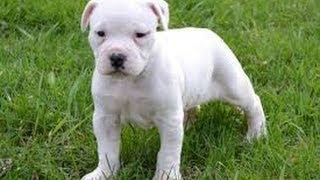 American Bulldog, Puppies For Sale, In, Hampton, Virginia, West, Va, Norfolk, Chesapeake, 19breeders
