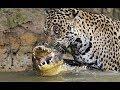 Dos Leopardos intentan robarle la comida a un Cocodrilo / SECCION ANIMAL