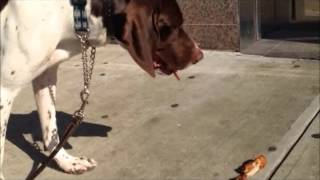 Teach Dog Not To Eat Off Ground .........peter Caine Brooklyn Dog Training