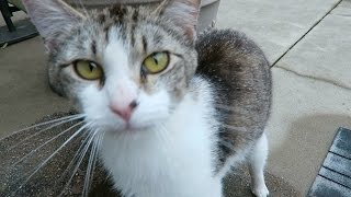 Cute Cat Video - Friendly Feral Cat In My Yard - Meowing thumbnail