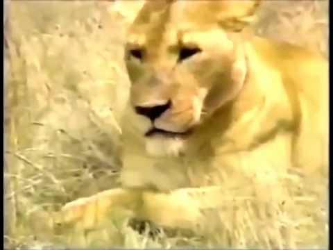 Lions of Ngorongoro Crater   Ngorongoro Crater Safari   7 Natural Wonders of Africa