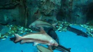 Осетры и другие рыбы (шанхайский океанариум, 2010)(, 2011-01-31T14:46:13.000Z)