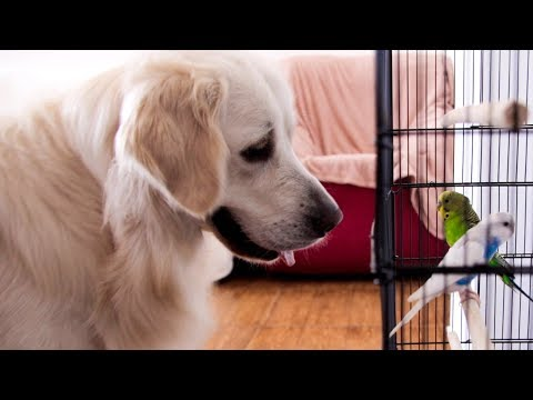 Dog Reacts to Budgies Parrots for the Very First Time
