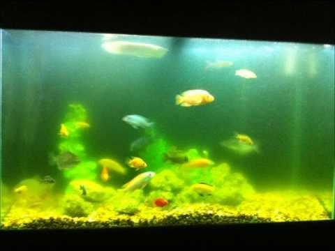 uv filter in my 55 cichlid tank (algae bloom) part 1   FunnyCat.TV