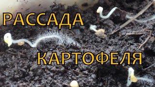Как вырастить элитный картофель из семян. УХОД за РАССАДОЙ