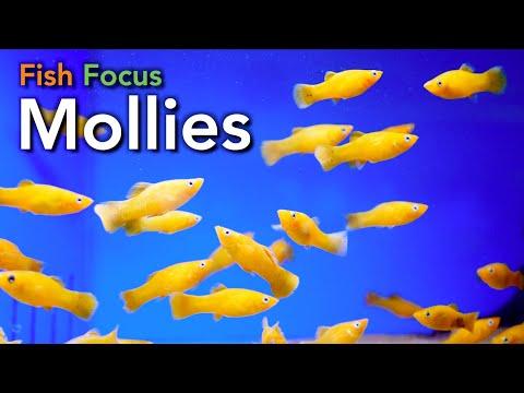 Fish Focus - Mollies