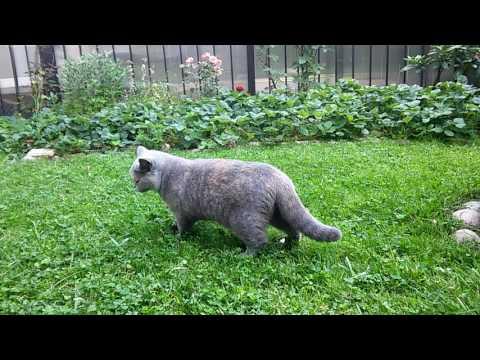 Британская кошка Zoluschka High Class*RU