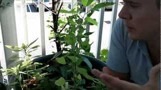 Growing Quinoa pt. 2