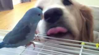 """blu"" The Blue Parrotlet & ""brandi"" The Golden Retriever - Parrotletbirds"