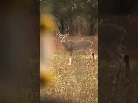 Slow-Motion Crossbow Shot on a Whitetail Buck #Shorts