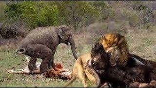 ゾウはバッファロー、ライオン狩りからクーズーを救う-タイガーvsイボイ...