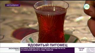 Чай за столом с аспидом: в Азербайджане живет повелитель змей