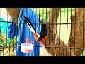 Pancingan Murai Batu Bikin Nyaut Dan Cepat Gacor Ngeplong  Mp3 - Mp4 Download
