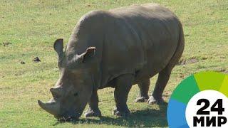 В Кении умер известный северный белый носорог Судан - МИР 24