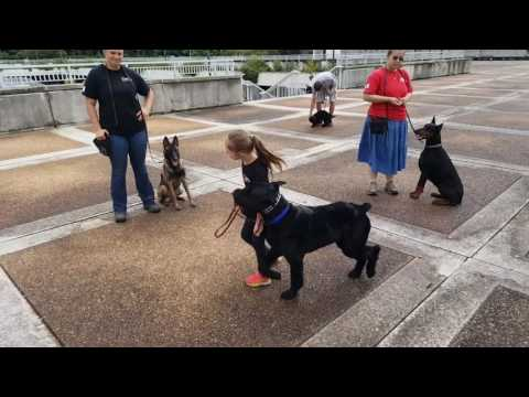 """Obedience Trained Giant Schnauzer """"Schnapps"""" 2 Yrs Natural Watch Dog For Sale"""