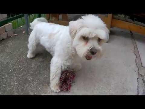 Havanese dog playing