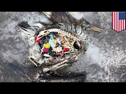 Seabirds eat ocean plastic because it emits a smell that makes them think it's food - TomoNews