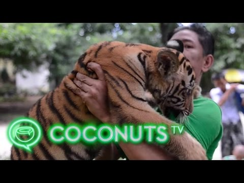 Yangon Zoo's little tiger and her keeper | Coconuts TV