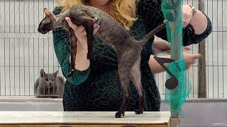 CFA International Show 2019  Cornish Rex Kitten Class Judging