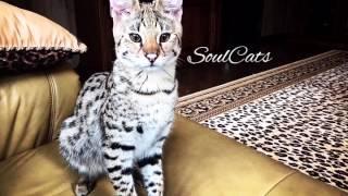 Котёнок Саванна F1❤️ Питомник SoulCats🐾