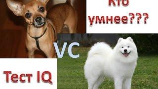 IQ моей собаки. Кто умнее? Самоед или той-терьер?