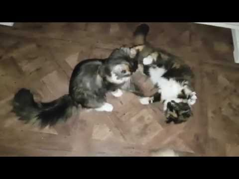 Maine-coon Kittens playing
