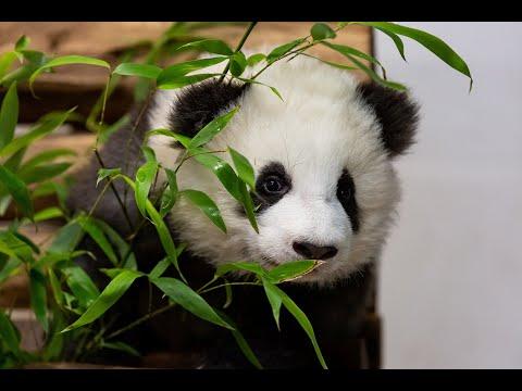 نجاح مركز الباندا الصيني في تربية 32 شبل عام 2019  - نشر قبل 3 ساعة