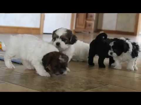 Peek a Poo Puppies For Sale