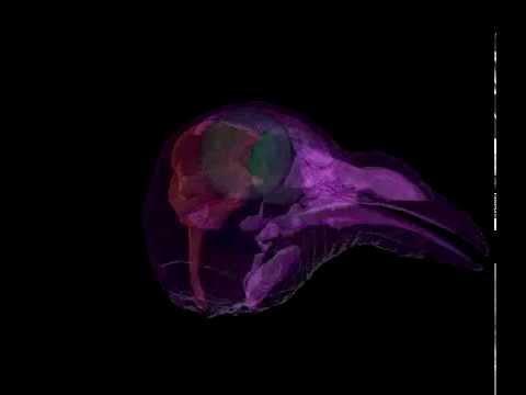 Iron-Rich Cells Don't Help Pigeons Navigate