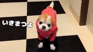 やけに似合う犬用レインコートに身を包み台風が接近中の中、頑張って散歩した老犬チワワ