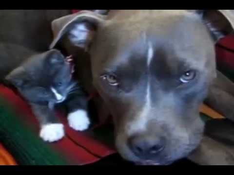 PIT BULLS In America: What You DON'T Know