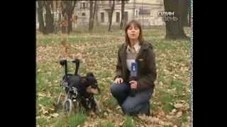 Собаки-инвалиды (сюжет канала К1)(Сюжет о собаках-инвалидах, передвигающихся на инвалидных колясках и с помощью ортезов, и о волонтёрском..., 2013-10-14T02:01:18.000Z)