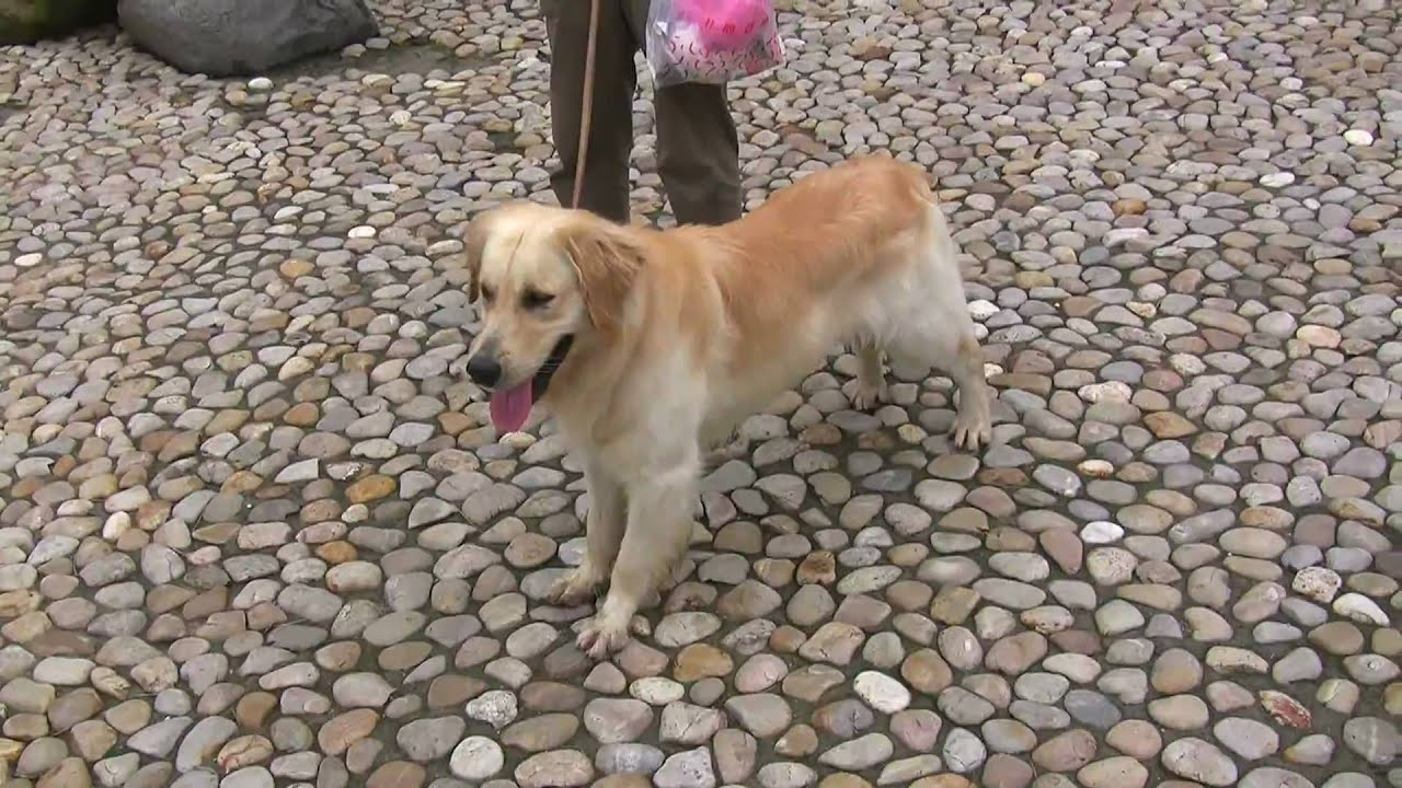 Hd My Golden Retriever Puppy Dior Hd 1080p Youtube