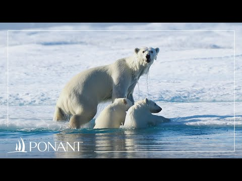 Cruises in Greenland: encounters with polar bears in the Baffin Sea | PONANT
