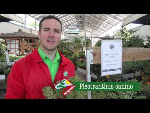 Plectranthus canino la planta que repele a los animales for Agro jardin estepona