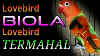 Video Lovebird BIOLA, Lovebird TERMAHAL download MP3, 3GP, MP4, WEBM, AVI, FLV Maret 2018