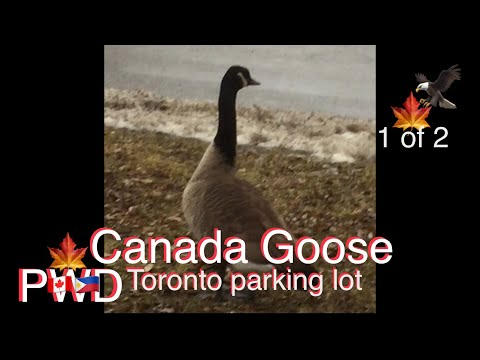 THE CANADA GOOSE OR GEESE IN THE CITY OF TORONTO 1 Of 2