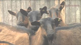 Ishrana koza silazom - i kako da unapredimo nase kozarstvo ?